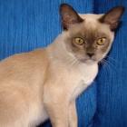 Бурманская кошка, шоколадный окрас4