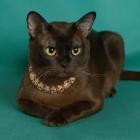 Бурманская кошка, соболиный окрас1