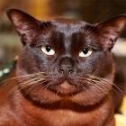 Бурманская кошка, соболиный окрас2