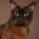 Бурманская кошка, соболиный окрас3