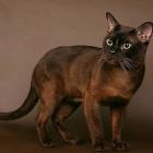 Бурманская кошка, соболиный окрас4