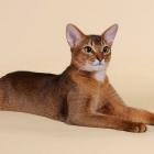 Абиссинская кошка, фото1