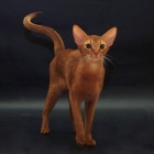 Абиссинская кошка, фото10