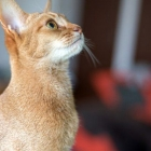 Абиссинская кошка, фото11