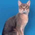 Абиссинская кошка, фото12