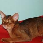 Абиссинская кошка, фото13