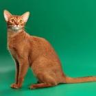 Абиссинская кошка, фото14
