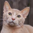 Абиссинская кошка, фото15
