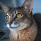 Абиссинская кошка, фото16