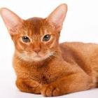 Абиссинская кошка, фото2
