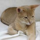 Абиссинская кошка, фото3