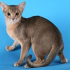 Абиссинская кошка, фото4