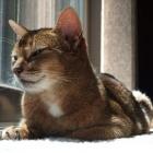Абиссинская кошка, фото5