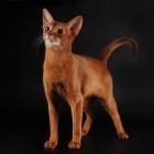 Абиссинская кошка, фото6