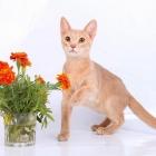 Абиссинская кошка, фото7