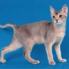 Абиссинская кошка, фото8