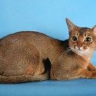 Абиссинская кошка, фото9