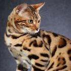 Бенгальская кошка, фото1