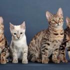 Бенгальская кошка, фото10