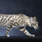 Бенгальская кошка, фото11