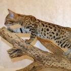 Бенгальская кошка, фото12