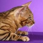 Бенгальская кошка, фото13