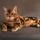 Бенгальская кошка, фото14