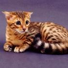 Бенгальская кошка, фото15