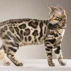 Бенгальская кошка, фото16
