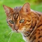 Бенгальская кошка, фото2