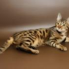 Бенгальская кошка, фото4