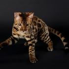 Бенгальская кошка, фото5