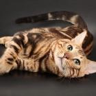 Бенгальская кошка, фото6