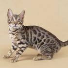 Бенгальская кошка, фото7