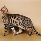 Бенгальская кошка, фото8