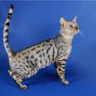 Бенгальская кошка, фото9