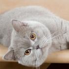 Британская короткошерстная кошка, фото1