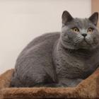 Британская короткошерстная кошка, фото10