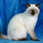 Британская короткошерстная кошка, фото11