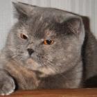 Британская короткошерстная кошка, фото12