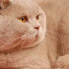 Британская короткошерстная кошка, фото13