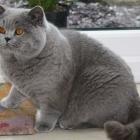 Британская короткошерстная кошка, фото14