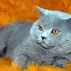 Британская короткошерстная кошка, фото15