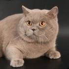 Британская короткошерстная кошка, фото16