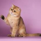 Британская короткошерстная кошка, фото2