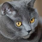 Британская короткошерстная кошка, фото3
