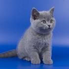 Британская короткошерстная кошка, фото4