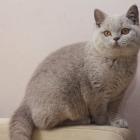 Британская короткошерстная кошка, фото5