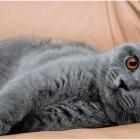 Британская короткошерстная кошка, фото6