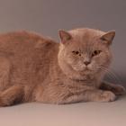 Британская короткошерстная кошка, фото7